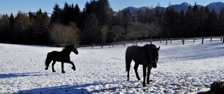 weissen-am-sattel-pferde